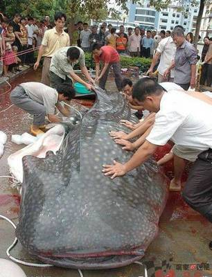 Man-eating Catfish of Furong Reservoir?