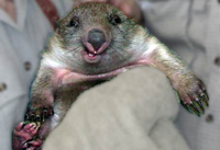 happy-wombat-200.jpg