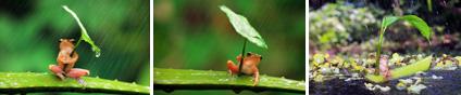 frogsumbrellas