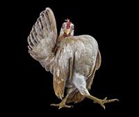 ErnestGoh_Chicken_Thewalk-200